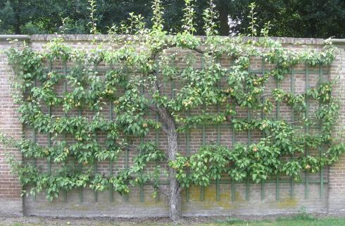 Leifruit planten